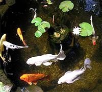 Crystal Clear Koi Carp Pond